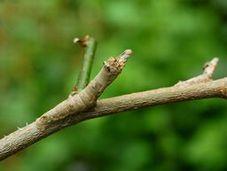 写真5 クワコの5齢幼虫 クワの枝に擬態している