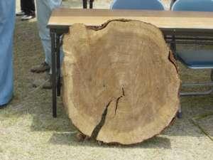 船材を取った後の木の丸太が飾られていた