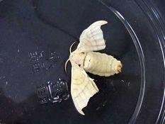 写真8 カイコの成虫