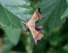 写真7 クワコの成虫