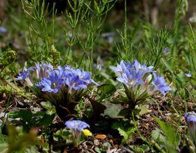 フデリンドウの花 (平成22年4月初旬ころ)