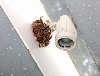博物館に巣を作ったキアシナガバチの巣