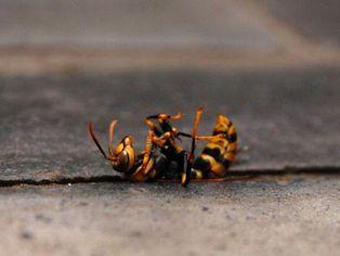 キアシナガバチの死がい