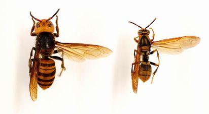 左がオオスズメバチ、右がキアシナガバチ