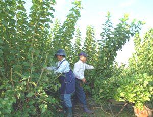 桑畑で桑とりをする笹野さん夫妻