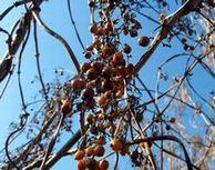 ヘクソカズラの果実