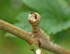 写真6 クワコの5齢幼虫 つつくと眼状紋を見せる