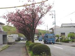 下見の時には八重桜が満開だった。ちなみに「あさみぞ探訪マップ」にも花めぐりコースが設定されている