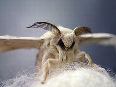 写真9 カイコの成虫