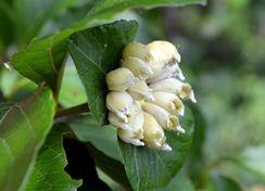 エゴノネコアシ(白い袋状の虫こぶ)の中にエゴノネコアシアブラムシが入っている(※)