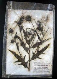 津波の被害を受けた植物標本