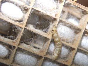 まぶしの上をはいまわる熟蚕