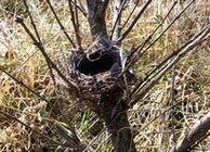 ホオジロの古巣
